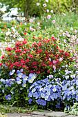 Frühlingsbeet mit Japanischer Azalee, Hornveilchen und Lichtnelken 'Petit Henry' 'Petit Jenny'
