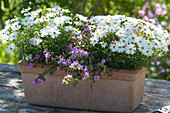 Weiß blühendes Blaues Gänseblümchen Surdaisy 'White Improved' mit Schneeflockenblume Everest 'Blue' in Terracotta-Kasten