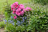 Rhododendron 'Anka Heinje' im Beet mit Hasenglöckchen, Beinwell und Pfingstrose