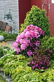 Beet mit Buchs, Rhododendron 'Anka Heinje', Azalee 'Blaauw's Pink' , Elfenblume und Goldlack am Hauseingang