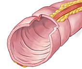 Anatomy of the colon, illustration