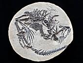 Claudiosaurus reptile fossil