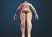 Muscular system viewed from behind, illustration