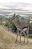 Palestine mountain gazelle juvenile