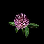 Red clover (Trifolium pratense) inflorescence
