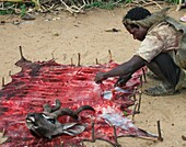 Hadzabe man curing leather