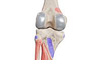 Knee bones, illustration