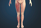 Female leg anatomy, illustration