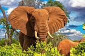 Elephants, Tsavo National Park, Kenya