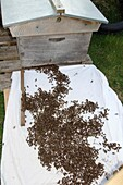 Hiving a swarm of honey bees