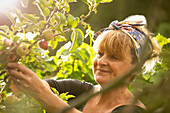 Happy woman harvesting apples in sunny orchard