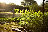 Vegetable plants growing in sunny summer garden