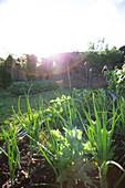 Vegetable plants growing in sunny garden