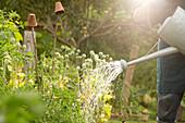 Man watering vegetable plants in sunny summer garden