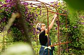 Woman pruning purple clematis flowers on trellis in summer garden