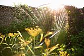 Sprinkler watering plants growing in sunny garden