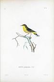 Palm warbler, illustration