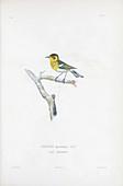 Warbler, illustration