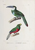 Toucan and toucanet, 19th century illustration