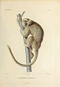 Squirrel monkey, 19th century illustration