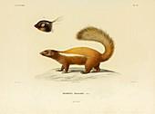 Humboldt's hog-nosed skunk, illustration