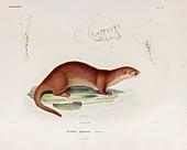 Neotropical river otter, illustration