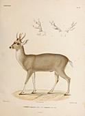 Taruca, illustration