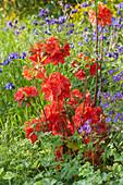 Sommergrüne Gartenazalee 'Fireball'