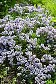 Blühender Kaskaden-Thymian