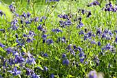 Blaue Akeleien im Beet