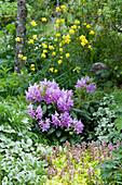 Rhododendron 'Catawbiense Grandiflorum', Trollblume, Taubnessel und Günsel 'Gold Chang' Ende Mai