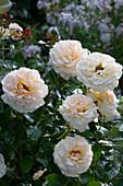 Polyantharose 'Lions Rose'