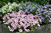 Bepflanzter Steintrog mit Petunie Mini Vista 'Pink Star' 'Violet Star' und Sternenblumen