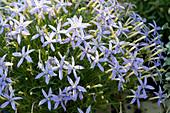 Sternenblume 'Starshine Blue'