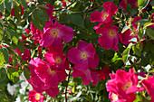 Rote Blüten der Rose 'Scharlachglut'