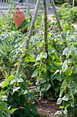 Gemüsegarten mit Kletterbohnen an Bohnenstangen
