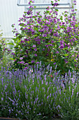 Lavendel und dunkle Malve im Beet