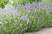 Blühender Lavendel mit Schmetterling