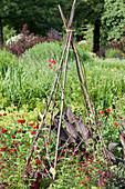 Selbstgebautes Rankgerüst aus Haselruten im roten Beet für Duftwicke und roter Sternwinde