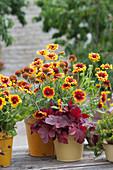 Kokardenblume 'Arizona Sun' und Purpurglöckchen 'Firealarm'