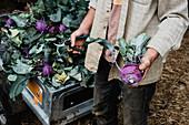 Farmer holding freshly picked purple kohlrabi