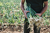 Farmer standing in a field holding freshly picked spring onions