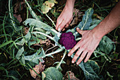 High angle close up of farmer harvesting purple broccoli