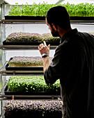 Trays of micrgreen seedlings growing in urban farm
