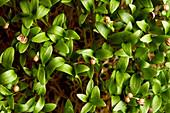Close up of germinating coriander seed microgreens