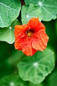 Flowering nasturtium