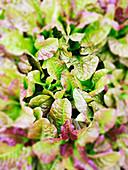 Salad leaves growing in a field