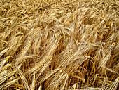Weizenähren auf dem Feld