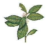 Bay tree (Laurus nobilis) sprig, illustration