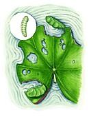 China mark moth caterpillar, illustration